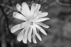 Star Magnolia in Black and white Stock Photo