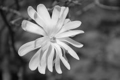 Star Magnolia in Black and white. Star Magnolia flower close-up in Black and white Stock Photo