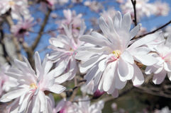 Star magnolia flowers in early spring Royalty Free Stock Images