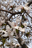 Star magnolia Royalty Free Stock Photos