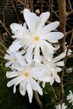 Star Magnolia, Magnolia Stellata, White Blossoms in Spring. Creamy-white blossoms, no leaves Stock Images