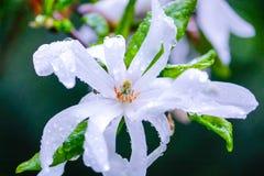 Star magnolia. Shiny raindrop on Star magnolia blossoms Stock Photos
