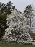 Star Magnolia. This is a Spring picture of a blooming Star Magnolia Tree at the Morton Arboretum, on a cloudy day, located in Lisle, Illinois in DuPage County Royalty Free Stock Image