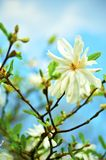 Star Magnolia -Stellata Royalty Free Stock Images