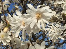 Star Magnolia Tree Blossoms and Blue Sky Stock Images