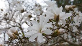 Star magnolia stock footage