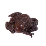 Star mossy frog, Theloderma stellatum, on white. Star mossy frog, Theloderma stellatum, rare spieces of frog, isolated on white background Royalty Free Stock Photos