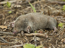 Star Nosed Mole Stock Photography