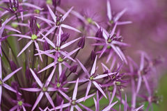 Star of Persia. Violet Star of Persia, or Persian Onion (Allium cristophii) flowers royalty free stock images