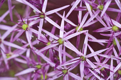 Star of persia. Flowers in summer stock images