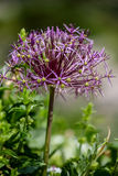 Star of Persia (Allium christophii) Royalty Free Stock Image
