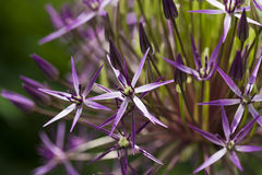 Star of Persia flower closeup Royalty Free Stock Image