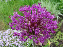 Star of Persia. Purple flower is a herbaceous perennial plant Royalty Free Stock Photo