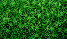 Star plant. Green plant that look like a star Royalty Free Stock Images