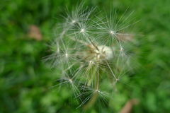 Star plant in a green field. Close up of a star plant in a green environment with shallow depth of field stock photos