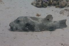 Star Puffer in Red Sea stock images