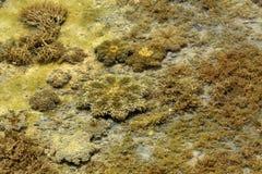Star shape Upside-down jellyfish Royalty Free Stock Photos