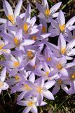 Star shaped cluster of sun filled crocuses Royalty Free Stock Image