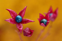 Star-shaped flowers. In pink and blue colors Royalty Free Stock Images
