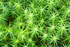 The star-shaped green moss closeup. The star shaped green moss closeup stock images