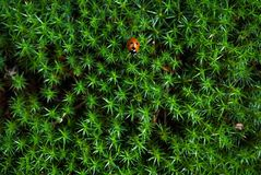 The Star-shaped Green Moss with a ladybug on it Stock Photos