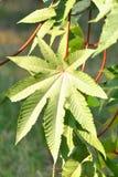 Star shaped leaf Stock Images