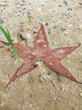 Star shaped leaf. A star shaped leaf stuck in the mud royalty free stock photo