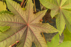 Star-shaped Leaves Royalty Free Stock Images