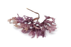 Star shaped moss seaweed Royalty Free Stock Photography