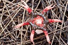 Star Shaped Mushroom Royalty Free Stock Photos