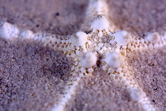 Star shaped sea shell Royalty Free Stock Photos