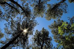 Pine tree forest under a Star-shaped sun Stock Photography