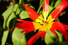 Star shaped tulip Royalty Free Stock Photography