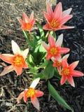 Star-shaped tulips stock photos