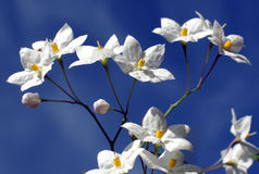 Star-shaped white flowers. Stock Image