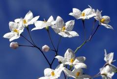 Star-shaped witte bloemen. stock afbeelding