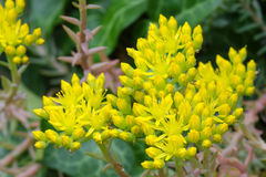 Star shaped yellow flowers of Sedum, Stonecrop Royalty Free Stock Photography
