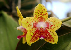 Star shaped yellow orchid Royalty Free Stock Photography