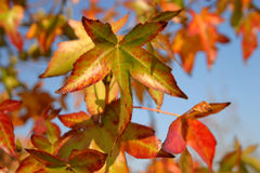 Star of the Show. One leaf takes center stage on a tree with fall-colored leaves Royalty Free Stock Photos