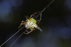 Star spider Royalty Free Stock Photo