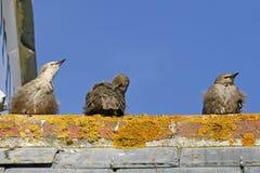 Star, Sturnus vulgaris, Three Starlings on a roof Stock Photos