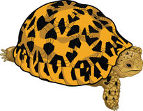 Star tortoise. Illustration - A young star tortoise Royalty Free Stock Photo