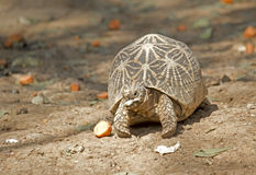 Star tortoise Royalty Free Stock Images