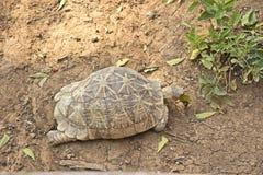 Star tortoise Stock Image