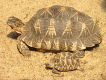 Star tortoise with young Royalty Free Stock Image