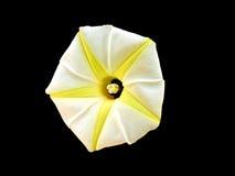 Star yellow flower. stock photography