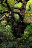 Stara ampuła Wyginał się drzewa w drewnach w jesieni fotografia royalty free