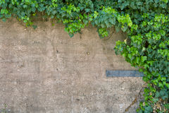 Bluszcz ściana Zdjęcie Stock