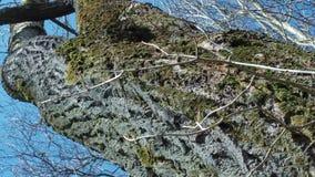 Stara brzoza, wczesny wiosny zakończenia panning zdjęcie wideo