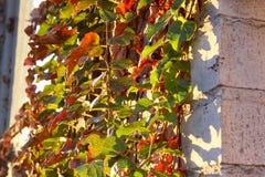 Stara ściana bluszcz Fotografia Stock